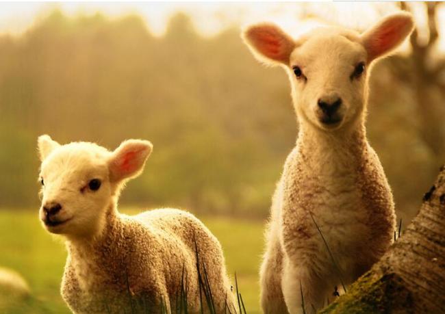 婴幼儿羊奶粉