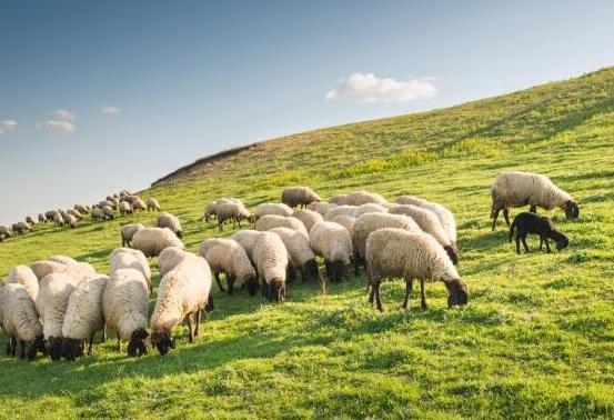 菁玺溜溜羊