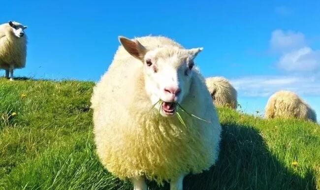 全羊乳配方奶粉