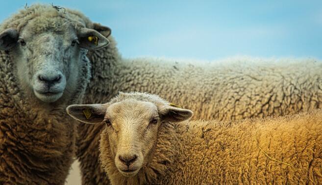 蓝河春天羊
