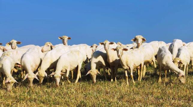 羊奶粉的功效与作用